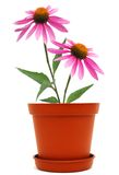 Coneflower pot Royalty Free Stock Photo