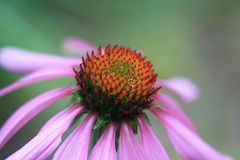Coneflower pourpré Photographie stock