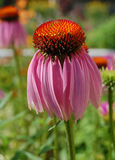 Coneflower pourpré Images stock