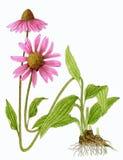 Coneflower pourpré oriental (purpurea d'Echinacea) Photographie stock libre de droits