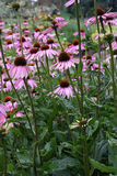 Coneflower pourpré, purpurea d'Echinacea Photographie stock libre de droits