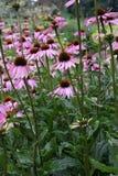 Coneflower pourpré, purpurea d'Echinacea Photographie stock libre de droits