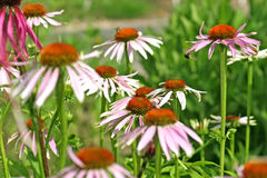 coneflower purpurowy obrazy royalty free