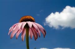 coneflower purpury Zdjęcie Stock