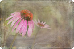 Coneflower reaching to the sun Royalty Free Stock Images
