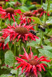 Coneflower red Royalty Free Stock Photo