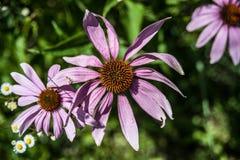 Coneflower roxo Fotografia de Stock