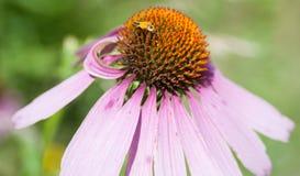 Coneflower roxo Imagem de Stock Royalty Free