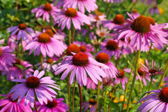 Coneflower roxo, flor cor-de-rosa agradável do verão fotos de stock royalty free