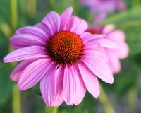 Coneflower roxo ou Echinacea roxo Imagem de Stock