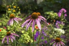 Coneflower roxo, purpurea do Echinacea que floresce em um jardim fotos de stock
