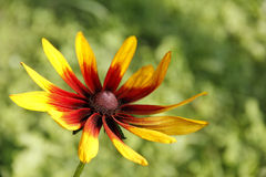 Coneflower (Rudbeckia). Stock Image
