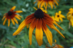 Coneflower (rudbeckia) yellow and dark-red old flower close up Royalty Free Stock Photography