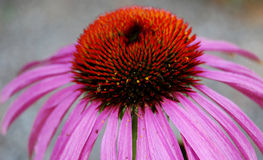 Coneflower simple Image libre de droits
