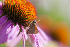 Coneflower and Skipper Butterfly Stock Image