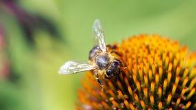Μέλισσα στην εικόνα τοίχων Coneflower 16to9 στοκ εικόνα
