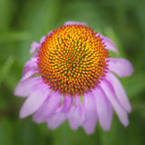 Coneflower Top. An overhead view of a coneflower Royalty Free Stock Images