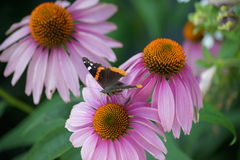 Coneflower trio and admiral butterfly. Royalty Free Stock Photo