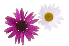 Coneflower und Gänseblümchenblumen Stockbild