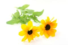 Coneflower Stock Images