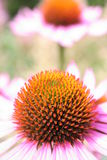 coneflowerpurple Royaltyfria Bilder
