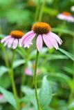 2 Coneflowers в саде Purpurea эхинацеи и фиолетовый цветник coneflowers с космосом экземпляра Преимущества и пользы эхинацеи Стоковое Изображение