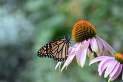 Coneflowers и бабочка стоковые изображения