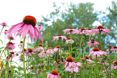 Coneflowers Royalty Free Stock Image
