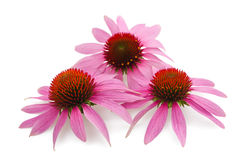 Coneflowers Obraz Stock