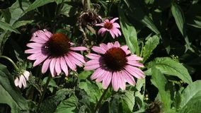 Coneflowers stock footage