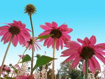 Coneflowers Stock Images