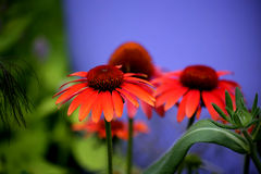 Coneflowers Immagine Stock