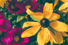 Coneflowers also called Black-eyed-Susans, Leuchtender Sonnenhut used in medicine as echinacea.  Stock Photography