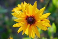 Coneflowers amarelos do Rudbeckia, close-up preto-eyed-susans das flores fotos de stock royalty free