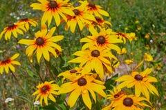Coneflowers amarillos del Rudbeckia, primer negro-observado-susans de las flores Rudbeckia en el jard?n imagenes de archivo