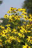 Coneflowers amarillos florecientes Fotos de archivo libres de regalías
