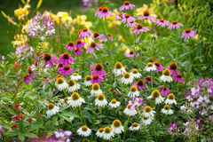 Coneflowers in bloom in a summer backyard garden outside of a su Stock Photography