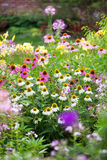 Coneflowers in bloom in a summer backyard garden outside of a su Royalty Free Stock Photos