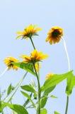 Coneflowers in Blue Sky Stock Image