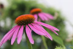 Coneflowers Royalty Free Stock Photos