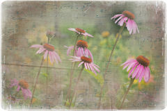 Coneflowers dancing on music. Stock Photos