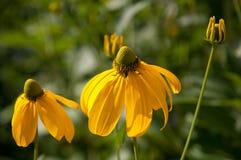 Coneflowers e germoglio gialli in giardino Immagine Stock Libera da Diritti