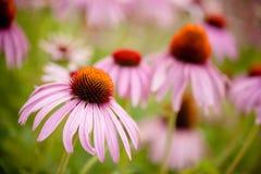 Coneflowers (echinacea flower) Stock Image