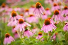 Coneflowers (echinacea flower) Royalty Free Stock Images