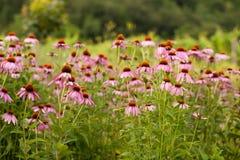 Coneflowers (echinacea flower) Royalty Free Stock Photo