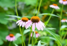 Coneflowers Flowerbed in the Garden. Echinacea purpurea and purple cone flowers flower bed. Echinacea purpurea and purple cone flowers flower bed royalty free stock images