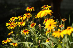Coneflowers in a garden Royalty Free Stock Photo