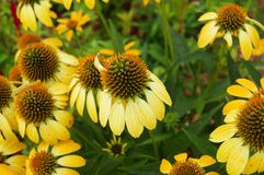 Coneflowers heureux Photo libre de droits