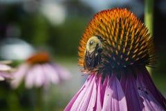 Coneflowers púrpuras con la abeja Imagen de archivo libre de regalías