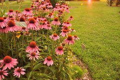 coneflowers pink Royaltyfria Bilder
